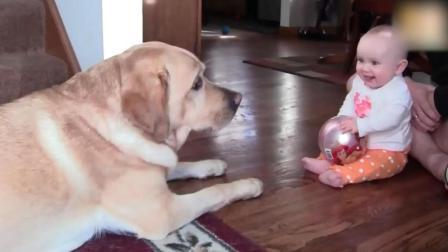 狗狗看到宝宝正在玩球, 接下来拉布拉多的举动让宝宝笑疯了