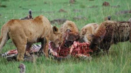 鬣狗将一头野猪咬残后, 开始残忍活吃! 血肉淋漓, 痛到无法呼吸!