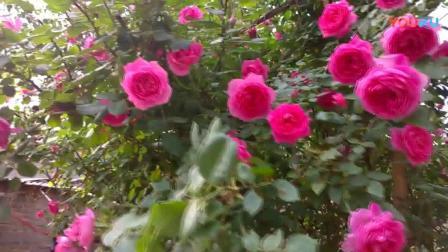 爬藤欧月季花苗大花浓香月月红四季开花