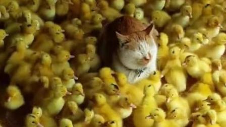 喵星人跑到小鸭群里, 闭眼思考猫生, 哈哈哈