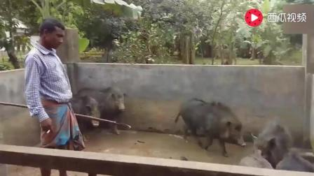 印度人是怎么杀猪的? 看看就知道了