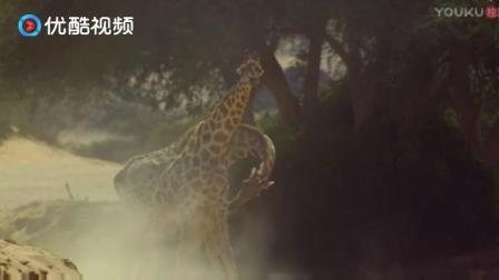 地球神奇的一天: 姜还是老的辣, 从长颈鹿打架就能看的出来!