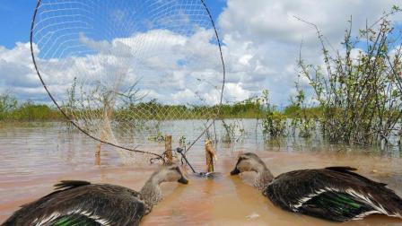 湖边捉野鸭, 农村神人发明的自动捕捉机关, 一抓一个准!