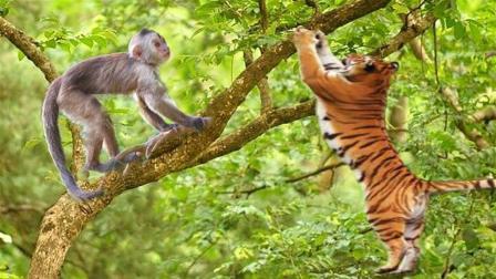 老虎上树抓猴子, 猴子采用诱敌深入战术, 结果摔得老虎喘不过气来
