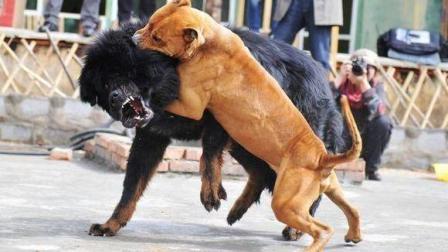 大沥犬大战比特犬, 争斗过程太精彩了, 结局意料之外!