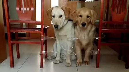 金毛和拉布拉多犬的智商大比拼, 你认为谁赢了