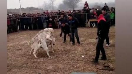 120斤中亚大战150斤土耳其坎高, 这才是真正的重量级斗狗