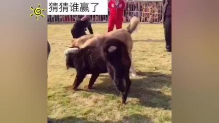 原生藏獒大战中亚猎狼犬, 这才是藏獒该有的气势!