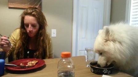 萨摩耶跟主人一起在桌子上吃饭