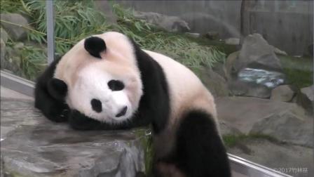 熊猫宝宝趴石头上就睡着了