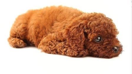 主人准备将泰迪狗抛弃, 它那无助的眼神发抖的身体, 实在看不下去!