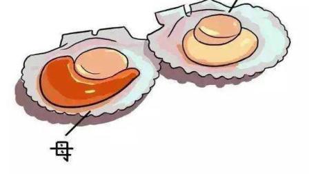 另类海鲜扇贝的做法, 巧搭配吃出极致美味