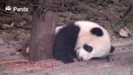萌萌的小熊猫宝宝困了要睡觉了
