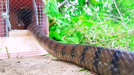 农村小女孩用捕鼠器捕捉大蛇, 一会儿竟钻进来一条大货, 高兴坏了
