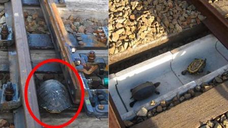 日本人为乌龟专门修改铁路, 网友: 这次没得黑!