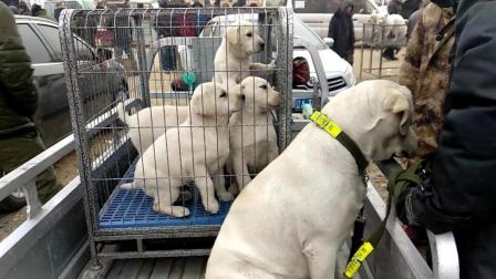纯血统的拉布拉多, 大的卖三千小的卖四百, 狗主人拿出了狗的身份证