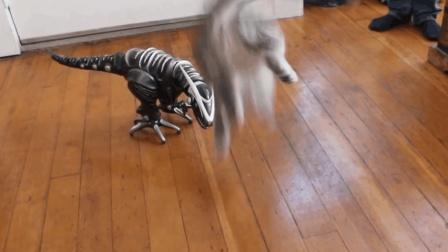美国短毛猫被玩家恐龙吓飞了, 之后小心翼翼的过去观察