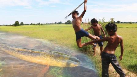 3个男孩水田里捉鱼, 这捉鱼铁棒够牛的, 一叉一条, 厉害!