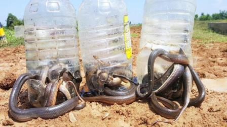 柬埔寨女孩捕蛇, 3个塑料瓶自制成捕蛇陷阱, 第二天一看不得了啊