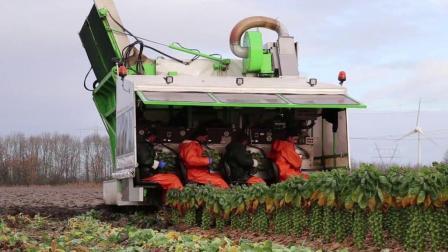 牛! 现代农业蔬菜收割机, 农民伯伯几时能拥有一台
