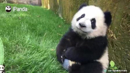 熊猫宝宝就是喜欢玩球