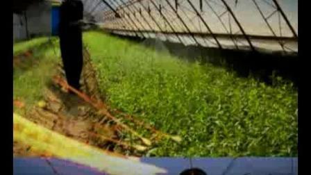 高产枸杞栽培技术 如何栽培枸杞教程 怎样种植枸杞
