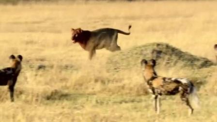 非洲草原永世仇敌, 狮子与野狗大战 难得一见的激烈搏杀!