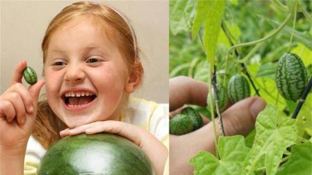 世界上最小的西瓜, 只有3厘米, 萌到不舍得吃!