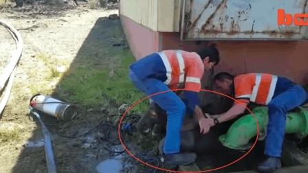 小象被困下水道, 紧急救援直击现场