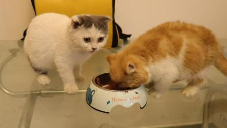 铲屎官拿金枪鱼罐头, 测试4只猫反应, 小猫抢着吃大饱口福