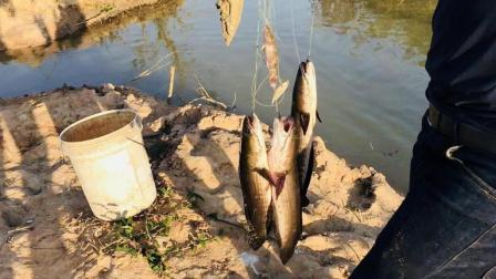 厉害! 农村小伙使用古老的无人自动钓鱼方法, 鱼一咬钩就被吊起