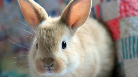 给超迷你的小兔子喂奶