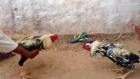 这样的斗鸡很少见, 家养公鸡也挺厉害!