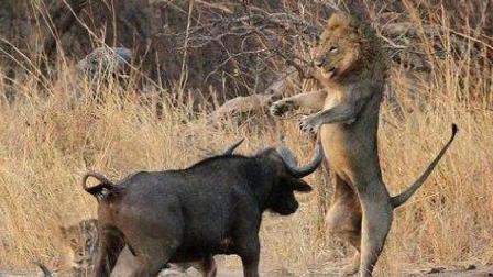 野牛看不惯狮子交配 朝雄狮命根子狠狠刺去