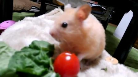 拿西红柿给仓鼠尝试, 咬开的一瞬间, 小家伙的表情萌翻了