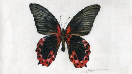 彩铅画基础教程—超写实蝴蝶
