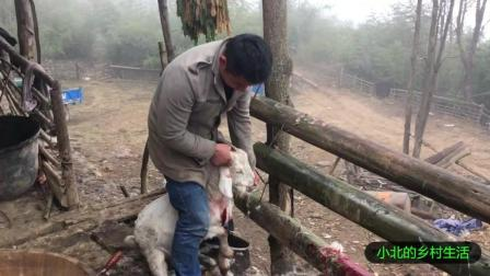 杀羊吃了这么久的羊肉, 第一次看见宰羊, 你们吃过这么新鲜的羊肉吗