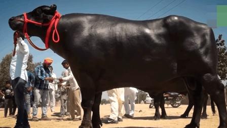 世界上最大的牛价值1500万, 每天的伙食要300万, 还要喝几瓶威士忌