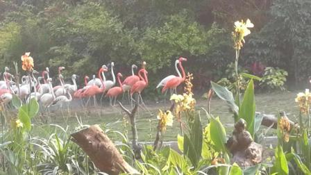 广州长隆白鸟飞歌 拥有礼仪小姐美称的火烈鸟出场秀 孔雀滑翔飞来
