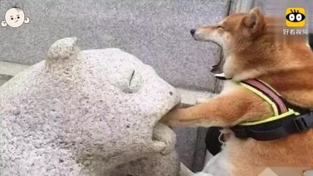 """这只柴犬假装被石狮""""咬住""""了, 真是戏很多啊! 奥斯卡奖给你吧"""