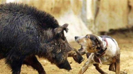 都说一猪二熊三老虎, 野猪发威有多猛, 看完很赞同!