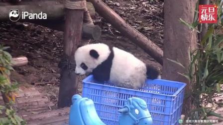 熊猫宝宝被放篮子里硬是爬了出来