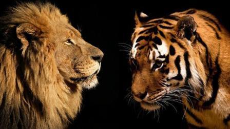 王者之争, 狮虎大战, 谁是NO 1?