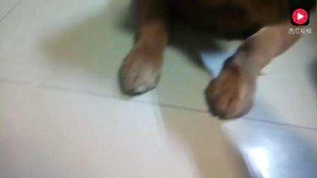 金毛狗狗训练拒食能力, 只见它眼神超有戏