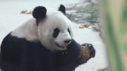 大熊猫吃窝窝头, 玉米面的还有蜂蜜超级国宝待遇