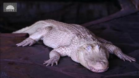 【白化短尾鳄】极其罕见, 被称为白龙化身的纯白短尾鳄