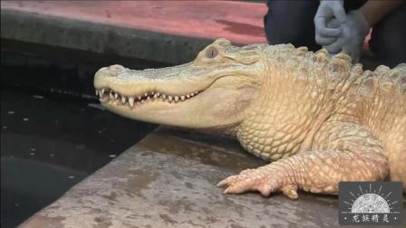 【白化鳄鱼】震撼视觉的纯种白化鳄鱼