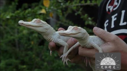 【白化鳄鱼宝宝】极其罕见, 被称为白龙之子的白化鳄鱼宝宝