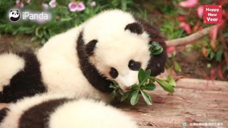 熊猫宝宝一点点的长大了
