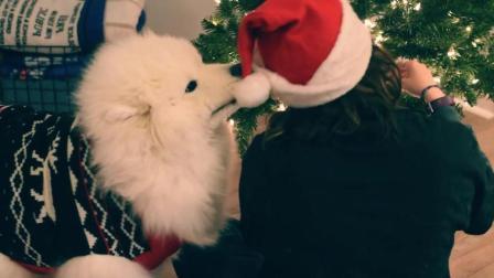 主人跟萨摩耶宝宝一起过圣诞好温馨